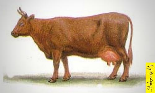 Корова красной степной породы