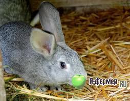 У кроликов наблюдается выпадение волос на нижней поверхности лап