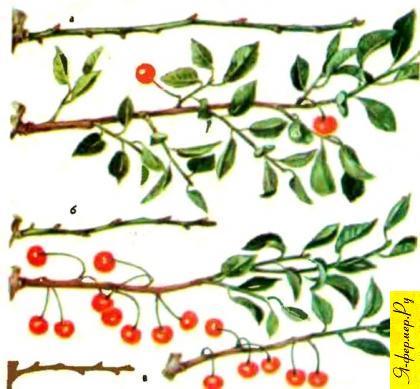 На очень сильных приростах у вишен почти все почки вегетативные.