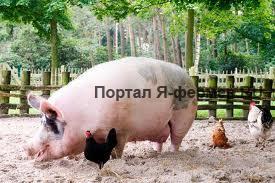 Преимущества и недостатки сухого и влажного кормления в свиноводстве