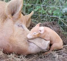 Лечение послеродового пареза у свиней.