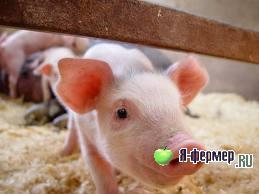 С чего мы начали свиноводство