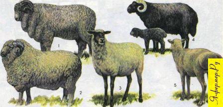 Полный список пород овец