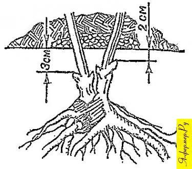 Как правильно сажать пион осенью 139