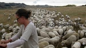 Псороптоз овец или накожниковая чесотка: описание, симптомы, лечение