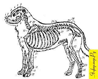Строение скелета собаки