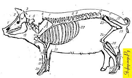 Строение скелета свиньи