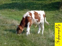 Вздутие рубца (тимпания) у крупнорогатого скота