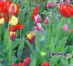 Тюльпаны группы «Триумф»