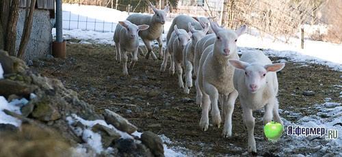 Подробное описание болезней коров, коз и овец и методы их лечения