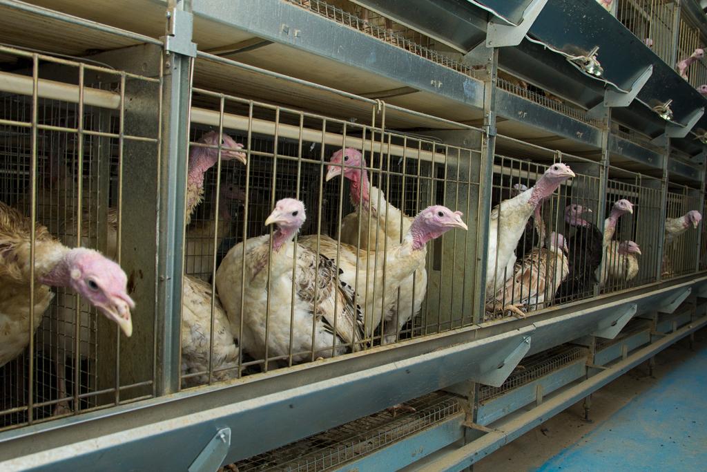 Птицеводство в домашних условиях индюков