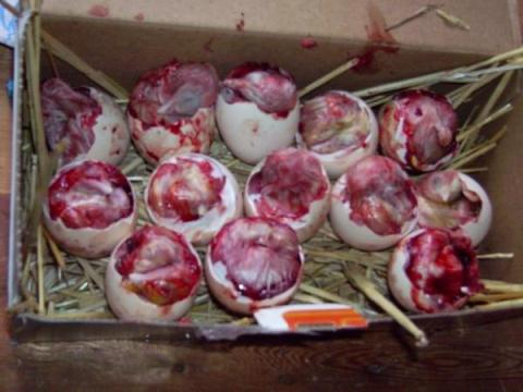 эмбриональная смертность, инкубация гусиных яиц, почему погибают эмбрионы при инкубации, гибель при инкубации