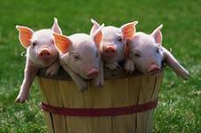диареи у поросят и послеродовые болезни свиноматок (эндометриты, маститы)