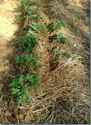 урожая картофеля на соломе