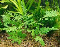 Растения в аквариуме