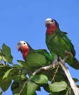 На фото - попугай амазон белоголовый.