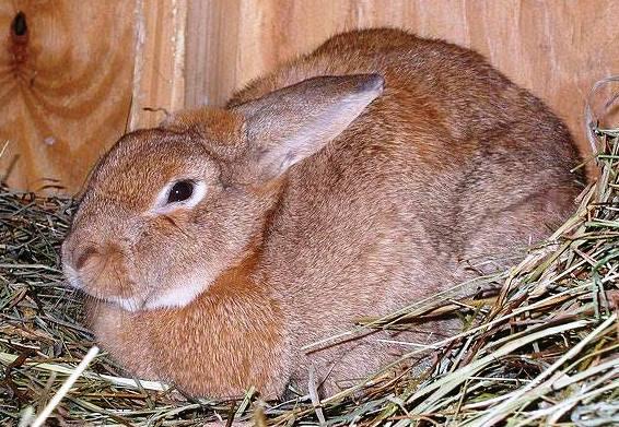 Беременная крольчиха фото.
