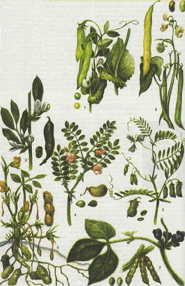 Зерновые бобовые культуры, их плоды и семена