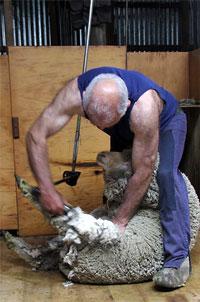 Стригаль во время стрижки овцы