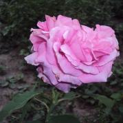 роза махровая с фруктовым ароматом