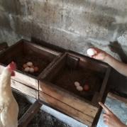 Жена отчитывает курицу. То ли за размер, то ли еще за что...