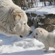 Азиатские овчарки - отец и сын