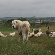 пес нянчит всю живность во дворе