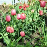 Тюльпаны на моём участке