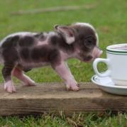 Свинка породы бергштрессер книрт (карапузик)