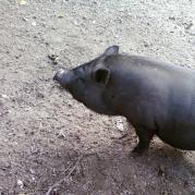 Травоядная свинка