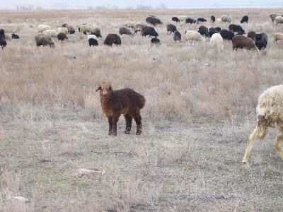 Эстроз — заболевание овец
