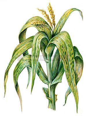 кукуруза, опыление, источник пыльцы