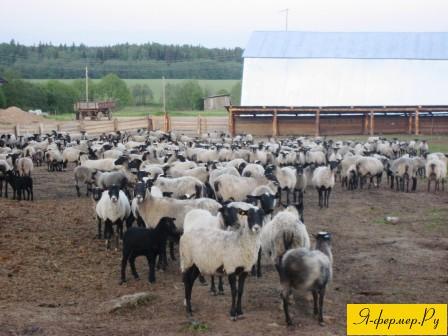 Система ветеринарных мероприятий при разведении овец, на фото овцы романовской породы