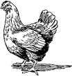 Курица запела петухом