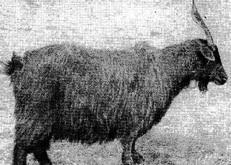 Коза башкирской породы