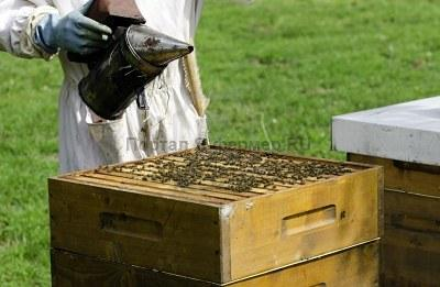 Устойчивость пчел к варроа. Патогенез варроатоза.