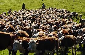Крупный рогатый скот на ферме фото