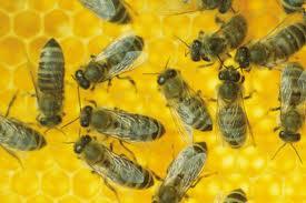 Племенная работа на пасеке, метод двойной замены маток, чистопородность пчёл