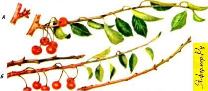 Букетная веточка вишни и что из неё получается.