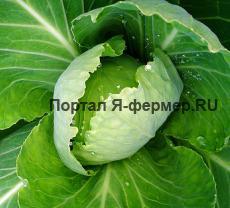 Как вырастить хороший урожай белокочанной, цветной капусты?