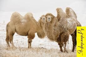 Разведение верблюдов
