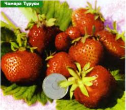 ягоды сорта земляники Чамора Туруси