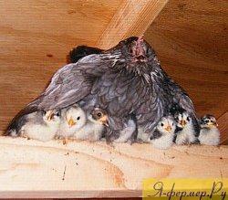 наседка с цыплятами, фото