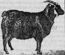 Черная пуховая коза