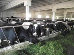 Трахеит и бронхит у сельскохозяйственных животных.