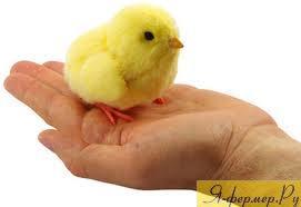 Цыплёнок фото.