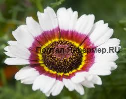 Хризантема килеватая фото