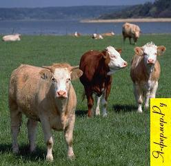 животноводство, крупный рогатый скот