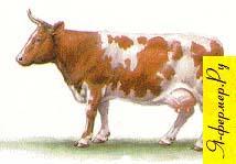 Сколько зерна нужно корове в день.