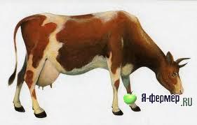 Может стельная корова гулять?